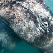 Inquisitive gray whale (Eschrichtius robustus) calf at the ocean surface, with its mother visible behind. Photographed in Magdalena Bay in Baja California, Mexico.