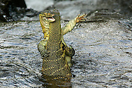 Two monitor lizards fight in a river in the Lake Manyara Park in northern Tanzania.