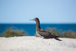 A juvenile Brown booby (Sula leucogaster) rests near the dunes on the Lacepede Islands on the Kimberley coast.