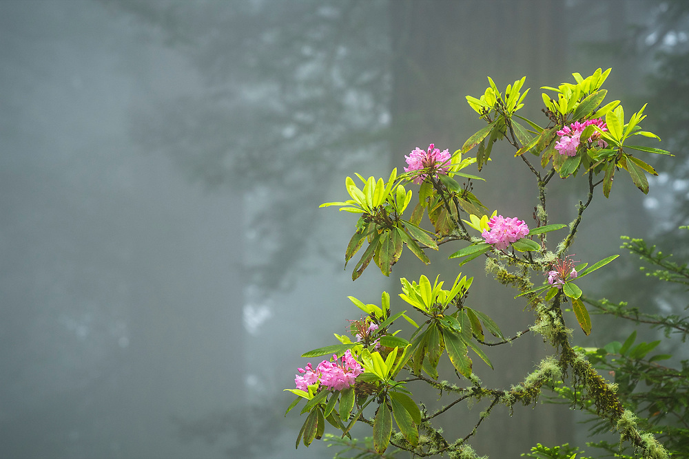 Rhododendron blooming in the fog, Del Norte Redwoods State Park, Redwoods State and National Parks, California.