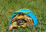 Sweaters Made Just For Turtles! <br /> Now that your pet snake has a sweater, you need to get the rest of your reptiles all cozied up. Etsy shop MossyTortoise has got the testudines covered (literally!) with their line of crocheted Turtle & Tortoise Sweaters. Not only will your purchase keep your little cold-blooded slow poke warm, but 10% of all income goes to the International Reptile Rescue.<br /> ©Exclusivepix