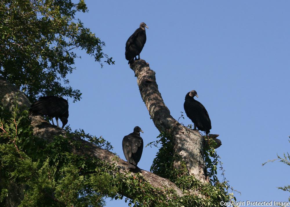Black Vultures on dead tree next to Jekyll Island inter coastal waterway