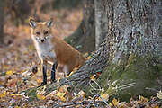 A Red fox walks stands next to a tree in a forest.
