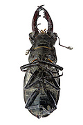 dead stag beetle insect seen from the underside