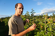 USA, Oregon, Corvallis, Oregon State University horticulture PhD student checks his raspberry research, MR