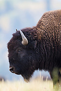 A bison pauses from grazing in a Grand Teton grassland
