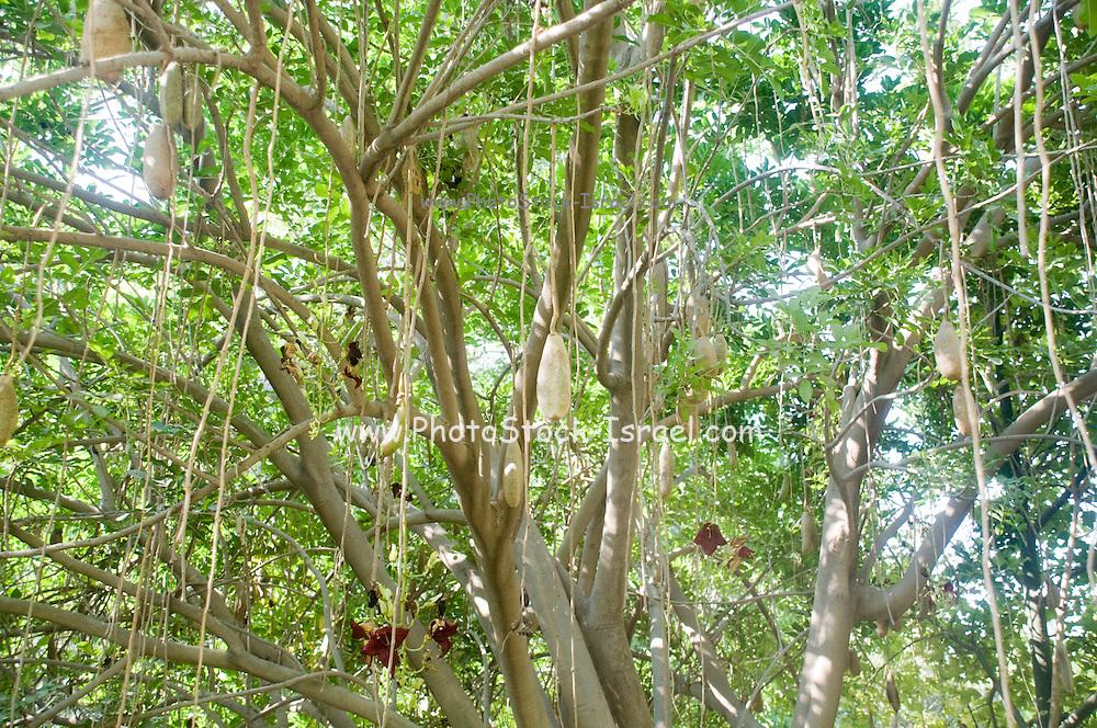 The sausage tree (Kigelia pinnata)