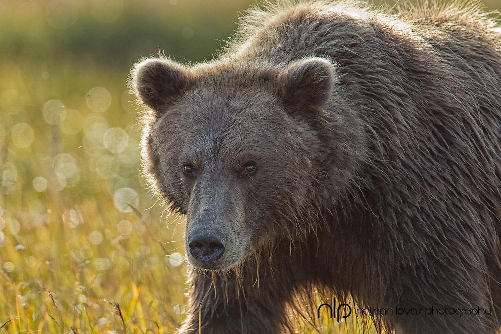 Brown bear (Ursus arctos) walking in grass backlit by sun;  Lake Clark NP, in wild.