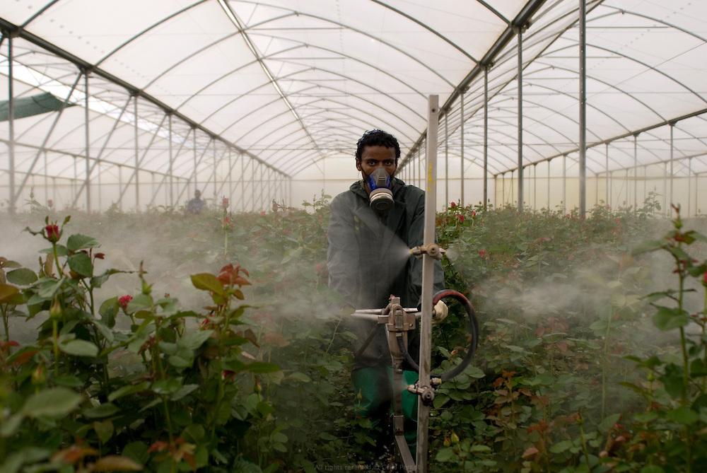 AQ Roses est une entreprise hollandaise dirigée par la famille Ammerlaan. Ils se sont installés en Éthiopie en 2006 pour concurrencer le manque de terres disponibles et le coût d'une telle entreprise aux Pays Bas. Ils louent 38 hectares à Gerrit Barnhoorn, lui même propriétaire de 400 hectares en bordure du Lac Ziway. AQ Roses produit près de 100 millions de fleurs par an, en majorité des roses. Leurs principaux clients sont la Hollande, l'Allemagne et la Scandinavie. Ils pompent directement dans le Lac Ziway pour tous leurs besoins en eau. Tous les matins un mélange de pesticides est pulvérisé sur les plantations (photo). Le surplus est rejeté directement dans le lac. Éthiopie août 2011.