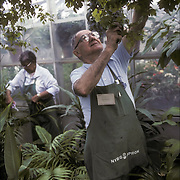 Volunteer working in greenhouse in New York Botanical Gardens Bronx, NY - RSVP, Retired Senior Volunteer Program, Elderly person(s) volunteering, engaged in meaning, helpful work that contributes to others.