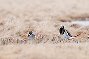 Long-tailed Ducks, Clangula hyemalis, male and female, Yukon Delta NWR, Alaska