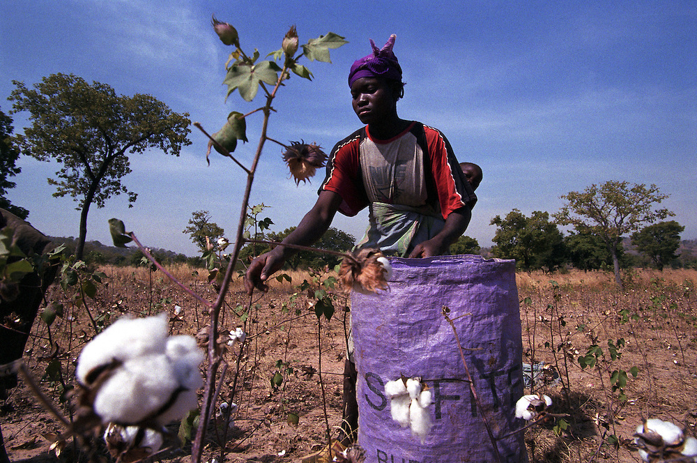 Cotton farmers harvesting their cotton. Cotton production in West Africa is completely manual. Cotton from Burkina Faso is some of the highest quality, low cost cotton in the world..Padéma, Burkina Faso. 10 December 2003..Photo © J.B. Russell