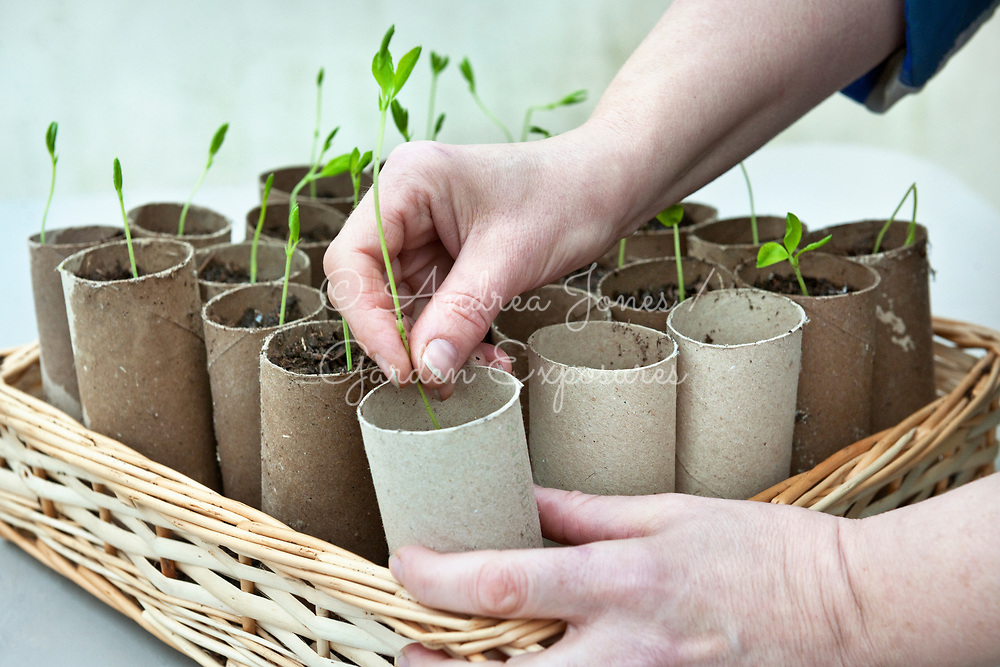 Planting sweet pea seedlings in old toilet rolls<br /> <br /> <br /> photography &copy; Andrea Jones/Garden Exposures Photo Library