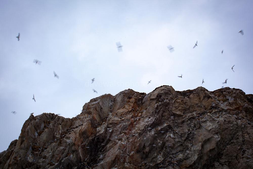 Black legged Kittiwake nests in Kongsford, near Ny Alesund on the Arctic archipelago of Svalbard