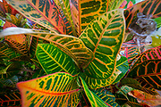 Croton Plant, Hawaii