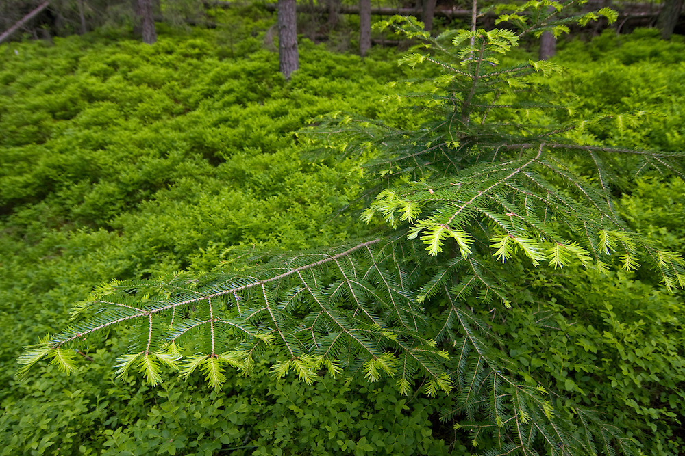 A rare Fir (Abies alba) growing in spruce forest among blueberry. Western Tatras, Slovakia. June 2009. Mission: Ticha
