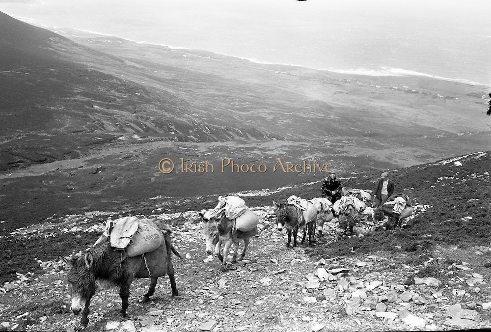 Farmers use donkeys to transport sand and cement up Croagh Patrick for work on the exterior of the Oratory. Urging the donkeys up the mountain..15-17.05.1962