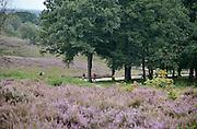 Nederland, Mook, 22-8-2014Natuurgebied De Mookerheide is een 80 ha groot, geaccidenteerd terrein met gevarieerde heidesoorten, begraasd door Schotse Hooglanders en Drentse heideschapen. Ook bekend om de historische Slag op de Mookerheide op 14 april 1574. Op de achtergrond uitzicht op de kerk en kerktoren van Cuijk aan de Maas.De Mookerhei is een bosgebied en heidegebied ten oosten van Mook in de provincie Limburg. Zij ligt op een uitloper van de Nijmeegse stuwwal en kent forse hoogteverschillen. In het zuidelijke deel groeit struikheide die in augustus prachtig bloeit. Plaatselijk staat veel brem.Foto: Flip Franssen/Hollandse Hoogte