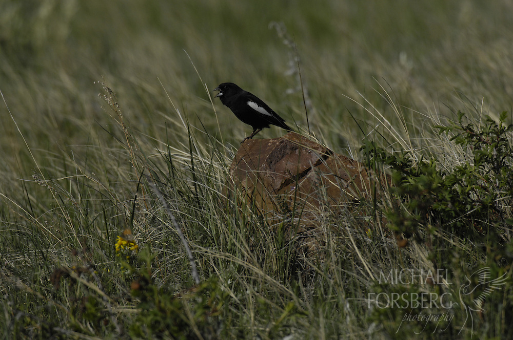 High Plains , shortgrass prairie region - Front Range, CO..Lark bunting on singing perch in prairie. .(grassland bird on decline)..