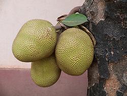 Jackfruit tree in Goa.