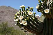 Saguaro cactus, (Carnegiea gigantea), bloom with white flowers in Sabino Canyon Recreation Area, Santa Catalina Mountains, Coronado National Forest, Sonran Desert, Tucson, Arizona, USA.