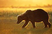 Alaskan Brown Bear<br /> Ursus arctos middendorffi<br /> At sunset<br /> Katmai National Park, AK
