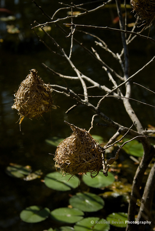 Two Weaver Bird nests