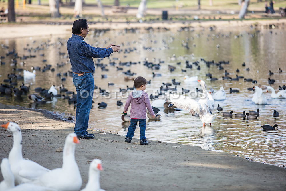 Dad and Son Watching Ducks and Goose at the Park