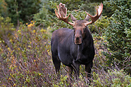 Bull Moose standing in the forest