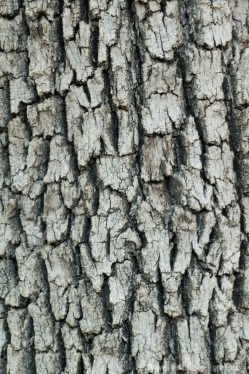 Bark of Mexican blue oak (Quercus oblongifolia), Coronado National Forest, Arizona