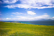 Soay sheep in buttercup meadow on Isle of Iona in the Inner Hebrides and Western Isles, Scotland