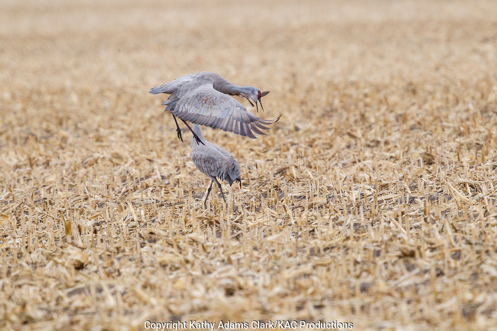 Sandhill crane, Grus canadensis, displaying as part of the mating ritual, corn field, near Platte River, during spring migration, Grand Island, Nebraska.