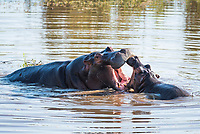 Hippo mother and calf playing, Marataba Private Game Reserve, Limpopo, South Africa