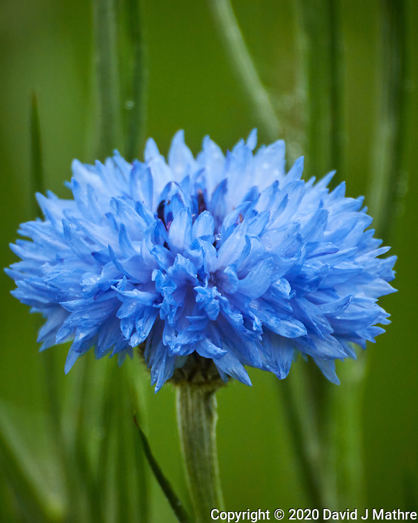 Blue Bachelor Button (Cornflower). Image taken with a Nikon D850 camera and 60 mm f/2.8 macro lens