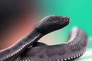 BINTAN, INDONESIA - MARCH 23: <br /> <br /> Rare Blind Snake <br /> <br /> A rare blind snake  (Trimeresurus purpureomaculatus) found in Tanjungpinang Bintan, Indonesia. Trimeresurus purpureomaculatus is a venomous pit viper species endemic to India and Southeast Asia. A rare blind snake  was found at Tanjungpinang mangrove on Bintan Island.<br /> ©Yuli Seperi/Exclusivepix Media
