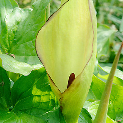 Araceae, Aronskelkfamilie
