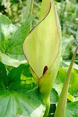 Gevlekte aronskelk, Arun maculatum