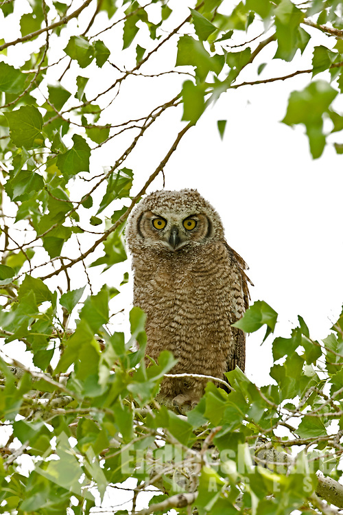 Great Horned Owlet has worked its way onto a small branch away from the safety of its nest.