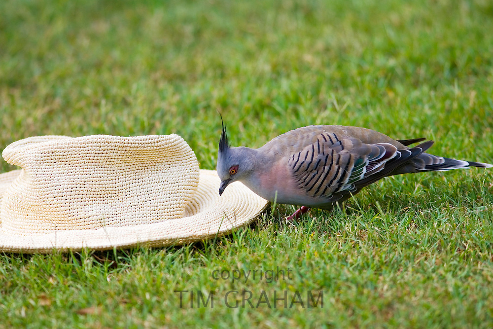 Crested pigeon pecks at panama sunhat in the Royal Botanical Gardens, Sydney Australia