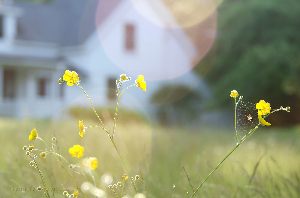 Dreamy, soft-focus view of buttercups with a spiderweb and a summer cottage in the distance, Hancock Point, Maine.
