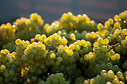 Freshly harvested Madeleine Angevine grapes