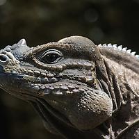 Rhinoceros Iguana - Cyclura cornuta