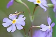 Bird's-eye Primrose, Primula mistassinica  and male Goldenrod Crab Spider, Misumena vatia, Alpena County, Michigan