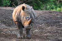 White Rhino, Phinda private Game Reserve, KwaZulu Natal, South Africa