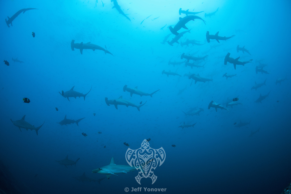 """Scalloped Hammerhead Sharks schooling near the top of a submerged seamount, in order to be """"cleaned"""" by Angelfishes and Barberfishes.<br /> <br /> <br /> Shot at Cocos Island, Costa Rica"""