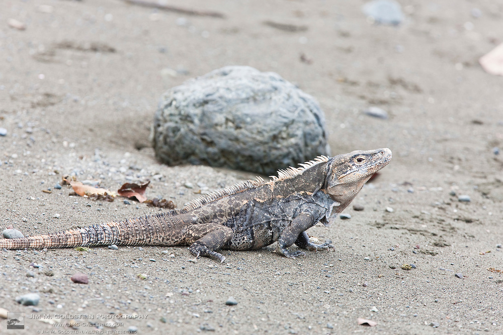 Profile of a Black Spiny-tailed Iguana (Ctenosaura similis) on a sandy beach within Corcovado National Park, Costa Rica