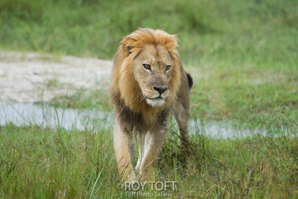 An African lion walking through the wetland, Botswana, Africa