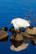 Snowy Egret Waiting - on the shores of Lake after a 6' rise.  San Diego, CA.   USA
