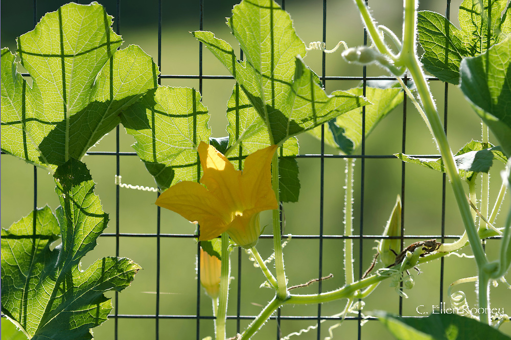 A close-up of a yellow corgette (zuchinni) flower growing on a wire fence in a vegetable garden in Westerlo, New York State, U.S.A.