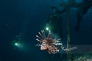Scuba divers on a night dive watch a Pterois or lionfish, as it swims along the sea floor in Raja Ampat, Indonesia.